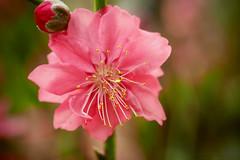 Plum Blossom (elenaleong) Tags: singapore plumblossom flowerdome gardenbythebay
