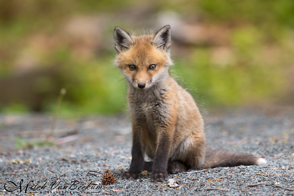 This cutie!!!  (Red Fox Kit)