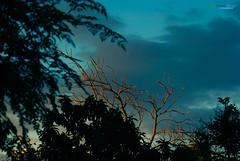 El rbol sin hojas iluminado por los amarillos rayos de sol de un Atardecer en Amina' Mao - Provincia Valverde - Repblica Dominicana (Carlos Durn Photography/CAD) Tags: sol atardecer arboles mao hd amina rd republicadominicana rayosdesol iluminado arbolseco carlosduran