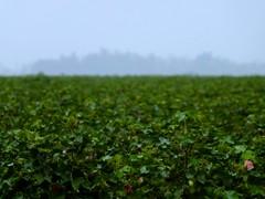 Foggy Field (geoffleppard1) Tags: nature landscape texas country fujifilm roadside westtexas xs1