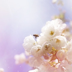 Hovering bee (helganovelli) Tags: pink sun white flower animal insect square cherry wonder happy fly spring soft bright blossom vibrant flor dream happiness bee ethereal delicate blume abeja airy biene shallowdepthoffield sogno ciliegio cerezo traum kirschbaum vitality tinyworld helganovelli