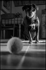 Happy Tuesday. (mkberquist) Tags: blackandwhite dog film 35mm puppy diafine tennisball nikonf3 pushedfilm 35mmf14 compensatingdeveloper ultrafinextreme