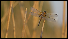 Four-spotted Chaser (CliveDodd) Tags: chaser fourspotted