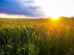 Wheat at sunset! (Hasan Yuzeir) Tags: blue light sunset summer sky cloud sun green field yellow phone wheat samsung galaxy hasanyuzeir