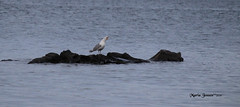 IMG_5314 (mariajensenphotography) Tags: ocean sea seagulls nature birds animals island spring wildlife salt
