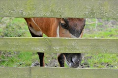 Bongo (flailing DORIS aka Fur Will Fly) Tags: nature animal fence kent wildlife bongo howletts