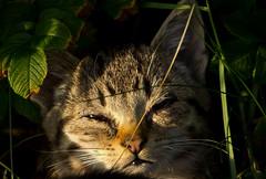 IMG_6037 (Lightcatcher66) Tags: florafauna makros katzencats lightcatcher66