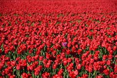 Prince :) (ZieZoFoto.com Take your time :)) Tags: red holland netherlands colors nikon purple nederland prince tulip nl rood bloemen landschap tulpen paars tulp bollenveld bloemenveld