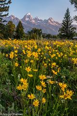 Dornan's 2015 with wildflowers 1 (greggohanian) Tags: mountains wildflowers grandtetons tetons tetonnationalpark dornans balsamroots