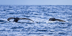 Whales Off Long Reef_MG_0385 resized (Robyn Aldridge) Tags: ocean sea seascape texture nature water outdoors coast wasser pattern sydney nsw coastline whales migration mammals seas flukes waterscape longreef fluking lrcc pscc canon7d whalemigration tamron150600mm