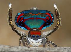 untitled-3300 peacock spider Maratus caeruleus (Jurgen Otto) Tags: male caeruleus