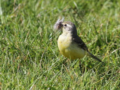 Yellow Wagtail (f) - Elmley NNR (mikehook51) Tags: uk england nature sunshine birds yellow fauna female digital kent spring flora wildlife may reserve telephoto marsh local visitors common grassland ornithology avian yellowwagtail nnr naturereserves bbcspringwatch canoneos7d elmleynnr