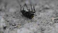 Scarce fungus weevil (Platyrhinus resinosus) on back (Ian Redding) Tags: nature strange insect european stuck upsidedown wildlife beetle british invertebrate arthropod coleoptera onback turningover righting fungusweevil anthribidae platyrhinusresinosus scarcefungusweevil