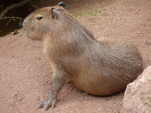 south lakes zoo - capybara