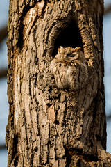 LakeParkScreech (jmishefske) Tags: park county wisconsin nikon downtown may lakemichigan milwaukee owl eastern lakepark screech 2016 d800e