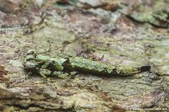 Bark mantis (Shamsul Hidayat Omar) Tags: macro animal bug mantis insect lens photography nikon bio 55mm bark malaysia omar selangor biodiversity hidayat micronikkor greatphotographers shamsul kepelbagaian d800e