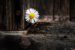 Daisy at the door (LightRapsody) Tags: brown macro details porta daisy dettagli fiore margherita marrone