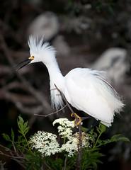 Snowy egret (gtb2003) Tags: birds alligator chicks fl staugustine greatblueheron greategret herons nesting egrets tricoloredheron woodstork roseatespoonbill snowyegrets littleblueheron alligatorfarm