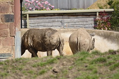 Chester Zoo (415) (rs1979) Tags: zoo chester rhino blackrhino chesterzoo