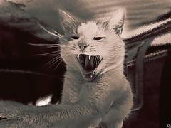 Cats Edition 7 - (11) (Robert Krstevski) Tags: pet pets cute animal animals sepia cat tooth kitten teeth kitty kittens kitties cuteness animallovers catsphotography robertkrstevski robertkrstevskiblogspotcom