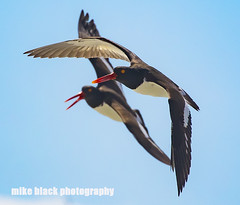 Oystercatchers NJ Shore Canon EOS-1D X Mark II (Mike Black photography) Tags: ocean new red 2 sky usa white black bird beach mike nature canon lens is big wings body mark year birding nj atlantic ii shore jersey l usm 100400mm mk 1dx
