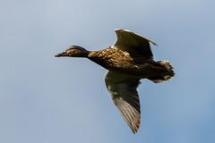 _F0A9050.jpg (Kico Lopez) Tags: birds rio spain aves galicia lugo mio anasplatyrhynchos anadeazulon