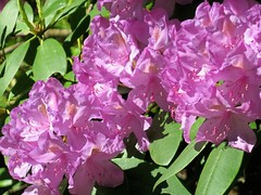 Rhodo time in Baltimore ~ HCS! (karma (Karen)) Tags: plants home leaves backyard blossoms maryland baltimore cliche rhododendrons hcs 4spring cmwdpinkpurple