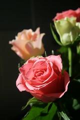 Flowers (chrisw09) Tags: cactus rose peach suprised present windowsill boquet