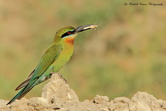 Get in ma Belleh!! (Dr. Nishith Kumar Photography) Tags: india bird canon bokeh safari animalplanet bg lucknow nationalgeographic beeeater birdphotography bluetailedbeeeater birdsofindia indianbirds nishith canon60d sigma150500 sigma150500mm birdsofuttarpradesh mostbeautifulbird nationalgeographicworldwide birdwithacatch sgpgi drnishithkumarphotography drnishith sgpgims