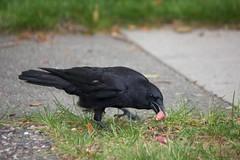 Stealing One (Stirrett6) Tags: bird crow corvid perching