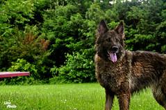 DSC_9401 (lina_photo_rossb) Tags: dog animal natur hund grn bodensee schferhund
