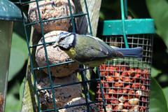 Garden Birds (Richard Brothwell) Tags: birds garden tit feeders bluetit gardenbirds sigmalenses sigma150500 sigma150500mmf563dgoshsm canoneos70d richardbrothwell