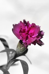 Pretty in Pink (1) (Frau Fanta5) Tags: pink plant flower nature natur pflanze blume makro blte frhling frhjahr nelke