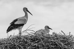 father & son (FotoHolst) Tags: storch nest animal bird