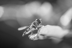 B&W Macro (DC P) Tags: light blackandwhite bw white black macro nature monochrome field animal monster canon insect mono la fly photo fantastic flickr noir dof wasp angle bokeh crane negro insects serene monday quinta depth soe f28 mpe 65mm mpe65mm  essenza bej 15x
