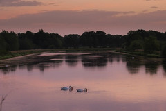 The swan lake @ Westerwolde (lique1304) Tags: trees sunset lake nature water birds swan outdoor landscpae refelction