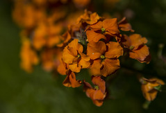 Orange - Erysimum May 2016 (GOR44Photographic@Gmail.com) Tags: orange flower macro green canon garden petals tamron erysimum 2875mmf28 60d gor44