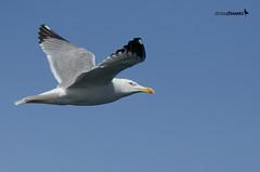 Larus michahellis (ZMarks) Tags: gulls matosinhos yellowleggedgull larusmichahellis gaivotadepatasamarelas gaviotapatiamarilla