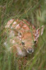 Hide and seek (Alex Verweij) Tags: alex grass canon sweet innocent young deer hide 5d bambi fallowdeer seek duinen fallow awd jong hert 200mm damhert verweij verstoppen alexverweij