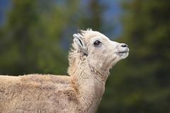 Rocky Mountain Bighorn Sheep Ewe (ashockenberry) Tags: park nature jasper sheep wildlife national alberta bighornsheep naturephotography ewe rockymountainbighornsheep wildlifenaturealbertasheepmammal