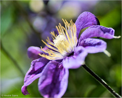 Clematis (Hindrik S) Tags: clematis color colorful colour colors kleur farbe flower blom bloem plant creation skepping schepping schpfung blue blau blauw green groen grien light ljocht licht dof bokeh macro nature natuur natuer natoer sharp sonyalpha sony sonyphotographing a57 57 slta57 tamron tamronspaf90mmf28dimacro 90mm f28 1250 iso100
