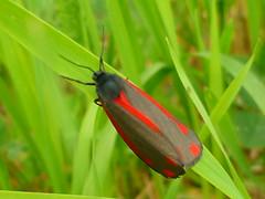 Wer kennt diesen Falter? (Jrg Paul Kaspari) Tags: grass butterfly gras falter luxembourg kirchberg schmetterling grnrot rotgrn bluttrpfchen grnrotschwarz