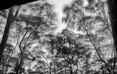 And with the rain, the wind. (OzzRod) Tags: trees blackandwhite storm monochrome forest movement pentax gale k1 autotakumar35mmf23 pentaxsingleinjune2016