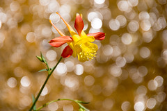 Orange & yellow Colorado Columbine flower (Stephen T Slater) Tags: coloradocolumbine explore thenarrows us usa unitedstatesofamerica flower springdale utah unitedstates zionnationalpark