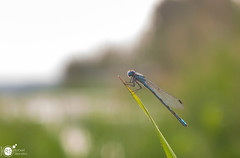 Enjoying the view (Robert Stienstra Photography) Tags: macro nature nikon dragonfly outdoor insects bugs creatures macrophotography macroshots sigma28mm sigma28mmminiwidemacro d71000