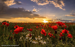 Poppy field sunset (Explored #14 / June 21, 2016) (MichikoSmith) Tags: uk sunset red summer england sun plant west flower green field canon eos gold warm shine yorkshire poppy poppies wakefield walton 6d