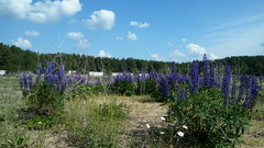 ,   (Purr-Plox) Tags: flowers wild nature village russia wicca lupine pagan
