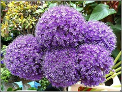 "Allium ""Globemaster"" (** Janets Photos **) Tags: uk flowers plants purple violet hull allium florists ornamentalonions"