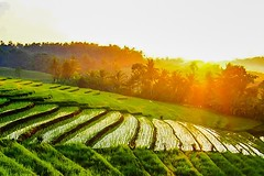 Sun n Rice .. (Made Wenten B) Tags: bali pen lumix rice terrace olympus panasonic lanscape sawah wentz vario tabanan ep5 kerambitan 1232mm