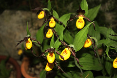Cypripedium calceolus, Orchid (betadecay2000) Tags: ladies plant orchid flower fleur lady outdoor pflanze ladys bloom orchidee blume blte slipper orchide blten anggrek orqudea orchideen orchidea cypripedium frauenschuh orkide pantoffel  calceolus botanisch orkidea   orhidee   orhideja orkideo orchidej      orchieen  erdorchidee  terristisch terristische
